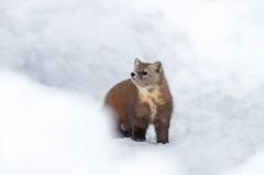 Hungry Pine Marten (rmikulec) Tags: nature wild wildlife animal pine marten cute mamal algonquin park forest hike snow winter cold white brown smile curious