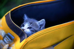 DSC09192  Angenieux 125 (barryleung28) Tags: kitten 子猫 小猫 고양이 새끼 chaton котенок gatito kätzchen ลูกแมว con mèo gattino adorable cute 可愛い 可愛い猫 可愛 carina mignonne mignonnerie 귀엽다 น่ารัก niedlich cat