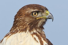 7D2_5807_DPP.Comp2048 (SF_HDV) Tags: california sacramentodelta sacramentocounty cosumnesriverpreserve bird raptor juvenile hawk redtailedhawk