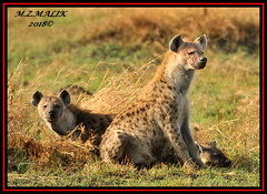 PACK OF SPOTTED HYAENAS (Crocuta crocuta)......MASAI MARA......SEPT,2018 (M Z Malik) Tags: nikon d3x 200400mm14afs kenya africa safari wildlife masaimara keekoroklodge exoticafricanwildlife ngc npc