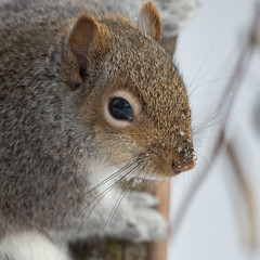 Squirrel-44243.jpg (Mully410 * Images) Tags: birdwatching birding easterngraysquirrel backyard bird birds closeup birder squirrel