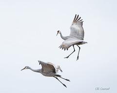 Please Help Me I'm Falling (CR Courson) Tags: pleasehelpmeimfalling sandhillcranes birds birdphotography birdsinflight nikon naturephotography nature crcourson chuckcourson cranes