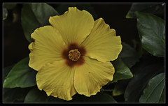 """Don't set limits on your unlimited potential."" (Ramalakshmi Rajan) Tags: quotes nikon nikond750 nikkor70300mm flowers flower hibiscus yellow inmygarden bangalore"