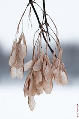 Maple seeds (alexey & kuzma) Tags: maple seeds nature fujifilm xt20 winter