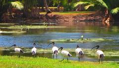 Ibis - Centenary Lakes, Cairns Australia (jeffglobalwanderer) Tags: ibis birds flockofibis tropicalgarden pond lake centenarylakes cairnsbotanicalgardens queensland australia