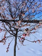 blossoms in snow (ekelly80) Tags: dc washingtondc january2019 winter snurlough snow snowstorm shutdown trumpshutdown snowday snowywalk white snowy cherryblossoms flowers pink trees nationalmall spring