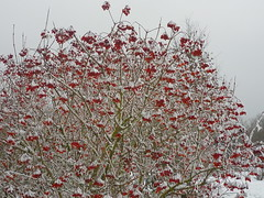 Fruchtschmuck - Viburnum opulus (Jörg Paul Kaspari) Tags: hosingen centre ösling winter gemeiner schneeball viburnumopulus fruits früchte fruchtschmuck schnee snow