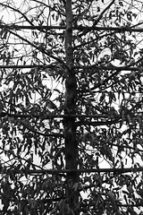 Espalier (just.Luc) Tags: tree boom arbre baum espalier leiboom bn nb zw monochroom monotone monochrome bw winter hiver friedhof cemetery begraafplaats kerkhof cimetière parijs parigi paris îledefrance nanterre france frankrijk frankreich francia frança