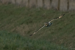 Short Eared Owl-4000 (WendyCoops224) Tags: 100400mml 80d fens winterwatch canon eos ©wendycooper short eared owl asio flammeus
