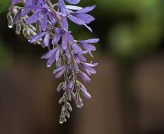 A Rainy Morning (ACEZandEIGHTZ) Tags: queens wreath petria volubilis purple bokeh nikon d3200 vine plant waterdrops
