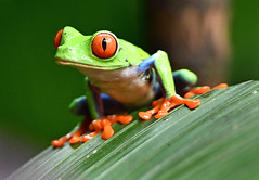 DSC_7694 PS (Christopher Lane Photography) Tags: costa rica vacation central america beauty beautiful tropical exotic beach la paz waterfall gardens redeyed tree frog colorful leaf amazing