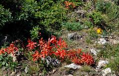 Les papillons (balese13) Tags: 1855mm 2013 d5000 lesangles nikonpassion pyrénéesorientales caillou fleur jaune nature nikon papillon pierre pyrénées rouge sauvage sentier vert 2550fav