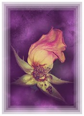 The last rose petal... Still life (Babethaude) Tags: flower one petal rose stilllife creativity closeup elegance nature naturemorte smileonsaturday