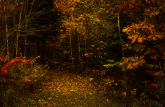 Going Into the Woods (yerica38) Tags: woods wood trees nature leaves autumn fall season fallseason path pathway scenic landscape explore colorful outside outdoors light forest foliage