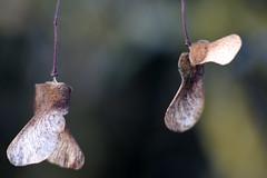 Dancers (gripspix) Tags: stellagon isco projectionlens projektionsobjektiv 128100mm 20190127 nature natur test probe plant pflanze acer ahorn seeds samen flugfrüchte
