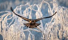 Open Wings (MrBlackSun) Tags: golden eagle goldeneagle winter arctic finland forest frozen kuusamo nikon d850 bird birds birdlover birdlovers kuusamonaturephotography kuusamohides