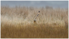 Short Eared Owl - (Asio flammeus) 'Z' for zoom (hunt.keith27) Tags: talons bird feathers wings quartering asioflammeus shortearedowl inflight owl eyes beautiful magnificent medium sized owls pale underwings yellow hunting mammals voles animal exmoor canon grass sky field