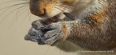 05-DSC_055920-DSC_0401 - Grey Squirrel (Sciurus carolinensis) (whiskymac) Tags: grey squirrel rodent tree rabbit wildlife nature mammal animal sciuruscarolinensis