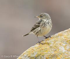 Rock Pipit (Ponty Birder) Tags: g b wheeler garywheeler pontybirder birds pipit england