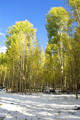 Beneath (belindah-Thank You!-600,000 Views Now) Tags: aspen trees forest color nature autumn