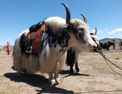 Ready for a ride (LeelooDallas) Tags: asia mongolia dragoman taikhar chuluu rock overland animal yak landscape dana iwachow june july 2018