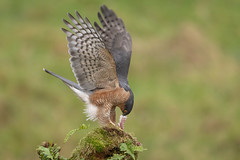 Sparrowhawk (cazalegg) Tags: sparrowhawk forest woods wildlife bird raptor scotland perch nikon 300mm
