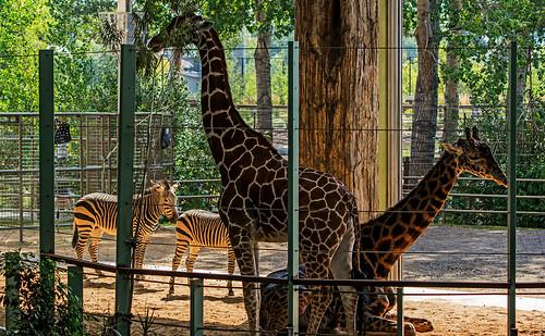 Giraffe & Zebra -- Calgary Zoo