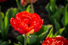NJH_7760 (norjam8) Tags: tulipfestival tuliptime flowers tulips