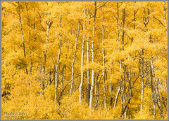Fall Gold (Photo-John) Tags: aspen aspens gold yellow fall foliage leaves outdoors seasons autumn trees adventure travel aspengrove aspentrees mountains utah color bright colorful golden landscape nature wasatchmountains saltlakecity slc bigcottonwoodcanyon sonya6500 editorialphotography stockphotography stockphoto outdoorphotography