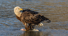 Almost there! (wesleybarr1962) Tags: eagle baldeagle haliaeetusleucocephalus