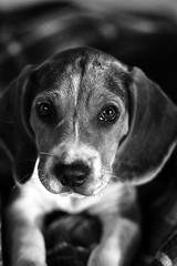 Tico 01sw (martinritter1) Tags: dog beagle puppy hund