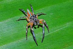 Salticidae, Psecas sp. (Alvaro_L) Tags: spider araña jumpingspider arañasaltadora salticidae psecas neon colorful colorida grandesojos