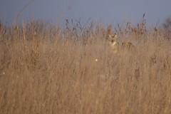 Coyote (finlander13) Tags: nature coyote minnesota sherburnenationalwildliferefuge wildlife onlyinmn