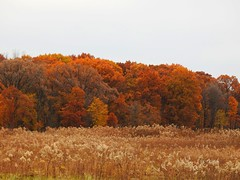 Fall Colors (Anton Shomali - Thank you for over 2 million views) Tags: 2018 fall2018 clouds green gold brown tree colours autumncolors fallcolors colors fall park chicago picture taken busse forest nature preserve near dancing with wind the leaves trees falling down autumn path pike road wood sky red bird birds ducks geese yellow change color season water lake swim grass landscape nikon coolpix p900