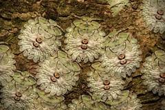Shield-backed Bug Nymphs (Plataspidae) (John Horstman (itchydogimages, SINOBUG)) Tags: insect macro china yunnan itchydogimages sinobug entomology bug shield stink nymph 2 hemiptera plataspidae plataspididae shieldbacked topf25 top