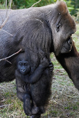 Ticket to ride. (rsheath76) Tags: dallaszoo gorillas baby westernlowlandgorilla faces