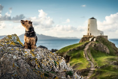 No, Im not looking at the camera!!!!!! (Nathan J Hammonds) Tags: wales anglesey llyn llandwyn lighthouse coast rock dog pet photography sea welsh terrier fudge best friend uk nikon d750 assistant model smelling