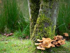 Fungus at base of tree (David R. Crowe) Tags: fungi garden moss nature plant tree seattle wa usa