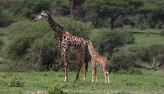 Mom And Kid In The Green (AnyMotion) Tags: giraffe giraffacamelopardalis lushgreen üppigesgrün landscape landschaft landschaftsaufnahmen 2018 anymotion tarangirenationalpark tanzania tansania africa afrika travel reisen animal animals tiere nature natur wildlife 7d2 canoneos7dmarkii