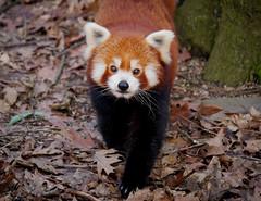 Hey Du (sigridspringer) Tags: tiere säugetiere roter panda katzenbär himalaya china duisburgerzoo jang