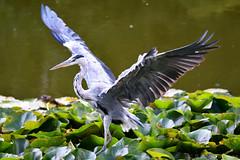 Grey Heron (Bri_J) Tags: copenhagenbotanicalgarden botaniskhave universityofcopenhagen copenhagen denmark københavn danmark botanicalgardens nikon d7500 greyheron heron bird ardeacinerea