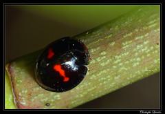Chilocorus bipustulatus (cquintin) Tags: arthropoda coleoptera coccinellidae chilocorus bipustulatus macroinsectes
