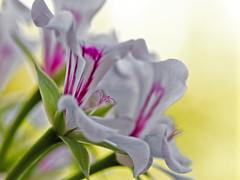 geranio m 9_8_18 (gennaroriccio1) Tags: flowers fiori geranio geranium macro macrophotography garden giardino