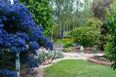 Garden Archer G2 Garden viewARC_2705.jpg (st peters gardens armidale) Tags: 2018 plants australia buckthorn gardenweekend rhamnaceae northerntablelands newengland eudicot californianlilac stpeters events places flowering church nature magnoliophyta gardenweekendflickr phanerogamae erskinest garden magnolopsida plant rosales pacificblue flora opengardens armidaleregion plantae towngarden gardenview nsw armidale ceanothus angiospermae dicot