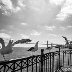 Curious Seagulls (Mevout) Tags: seagull gaviota mouette bridge pont puente vol flight vuelo curiosidad curiosity look mirada glance regarde barandilla fence cloture sea mar mer sanfrancisco