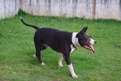 Lovely Monster #pet #dog #amstaff #pitbull #cute (karen.hane159) Tags: pet dog amstaff pitbull cute