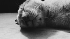 Feline 1 (Tanisa Samaddar) Tags: canon eos 1000d colors life animals animal cat feline january lazy monday relax bnw flickr
