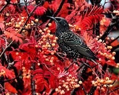 Starling in rowan (tina negus) Tags: starling rowan autumn bird leaves foliage berry