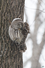''Douceur d'hiver!'' Chouette rayée-Barred owl (pascaleforest) Tags: owl chouette oiseaux bird animal passion nikon nature wild wildlife faune québec canada winter hiver snow neige