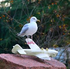 The wing commander (Graham Ó Síodhacháin) Tags: gull bird margatecemetery creativecommons